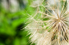 Plant fluffy Stock Photography