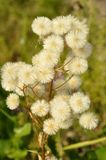 Plant with fluffy seeds royalty free stock photography