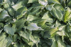 Plant foliage. Green leaves of plant foliage Stock Images