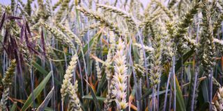 Plant, Food Grain, Grass Family, Crop royalty free stock photos