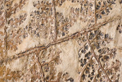 Plant Fossil. Close-up of a plant fossil in stone. The fossil comes from West Virginia Royalty Free Stock Photos