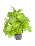 Plant of fresh basil Stock Photography