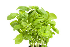 Plant of fresh basil Royalty Free Stock Image