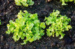 Plant fresh green lettuce salad Royalty Free Stock Images