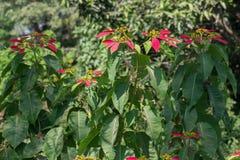 Poinsettia or Mana angangbi Plant Magenta Colored Leaves. Ornamental Plant Poinsettia or Mana angangbi Euphorbia pulcherrima Magenta Colored Leaves with Fresh stock images