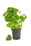 Plant of fresh parsley Stock Images