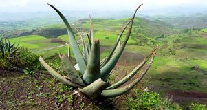 Plant in front of Ethiopian Landscape. Green verdant landscape in the highlands of Ethiopia with a succulent in front Royalty Free Stock Photo