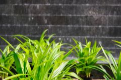 Plant in front of a waterfall. This unique image shows beautiful green plants in front of a water wall with stones. This photo was taken in Bangkok Thailand royalty free stock image