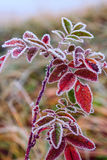 A plant in a frost. A colorful plant in frost, very similar to candied Stock Images