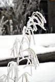 Plant in frost. Suddenly frozen plants in frost in late autumn royalty free stock photography