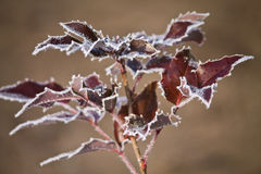 Plant with frosted leaves Royalty Free Stock Photo