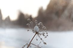 The plant on the frozen river stock images