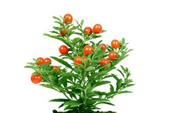 Plant with fruit Royalty Free Stock Photography
