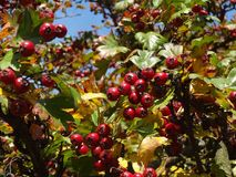 Plant, Fruit, Berry, Hawthorn stock photos