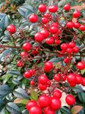 Plant, Fruit, Berry, Lingonberry royalty free stock photo