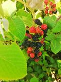 Plant and fruit of blackberry stock photo