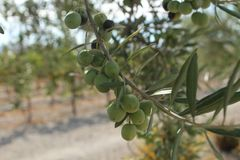 Plant, Fruit, Olive, Tree Stock Photos
