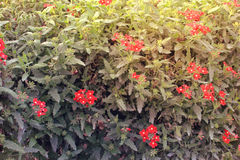 Plant full of red flowers in Miracle Garden Dubai,Middle-East. Amazing color Red flower presented nature beauty garden, Miracle Garden Stock Images