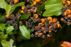 Plant fungus infestation. Pyracantha coccinea scab infection. Scarlet firethorn plant. Plant fungus infestation. Pyracantha coccinea scab infection. Scarlet stock photo
