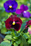 Plant for garden pansies Stock Photography