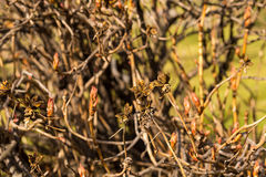 Plant in the garden treelike peony bush Stock Photo