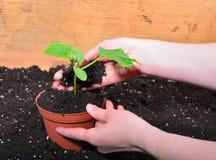 Plant gardener hand woman Stock Image