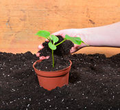 Plant gardener hand woman Stock Photography