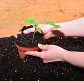 Plant gardener hand woman Stock Photo