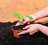 Plant gardener hand woman Stock Photos