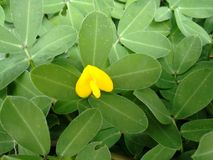 Plant of the genus Arachis with pale to lemon yellow pea-type flower. The creeping peanut is a genus of flowering plants in the family Fabaceae, with small Stock Photography