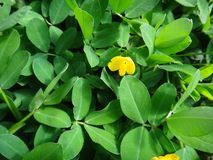 Plant of the genus Arachis with pale to lemon yellow pea-type flower. The creeping peanut is a genus of flowering plants in the family Fabaceae, with small Stock Images