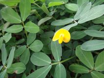 Plant of the genus Arachis with pale to lemon yellow pea-type flower. The creeping peanut is a genus of flowering plants in the family Fabaceae, with small Stock Photos
