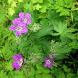 Plant of geranium. In a shady court in a natural English garden royalty free stock photos