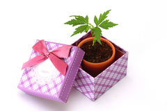 Plant in a gift box on white Royalty Free Stock Photos