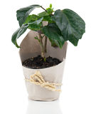 Plant for gift in paper packaging Royalty Free Stock Photos