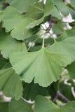 Plant Ginko biloba leaf Stock Images