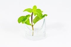 Plant in glass. A pepermint  in glass the green live concept Stock Image