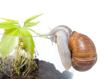 Plant in a glass pot with grape snail Royalty Free Stock Photos