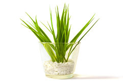 Plant in a glass vase. A decorative green plant in a glass vase isolated on a white background Royalty Free Stock Photos