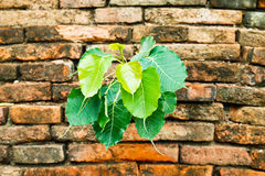 Plant glowing on the old brick wall. Green plant glowing on the old brick wall Royalty Free Stock Photography