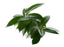 Plant gommifère dans le bac photos libres de droits
