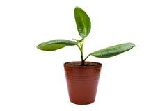 Plant gommifère sur le blanc photographie stock libre de droits