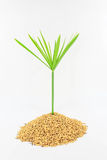 Plant and grain of rice. On white background stock photos