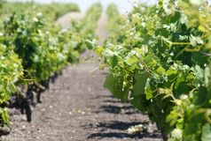 Plant grape vines in spring Royalty Free Stock Photos