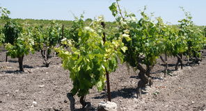Plant grape vines in spring Royalty Free Stock Photography