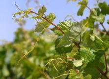 Plant grape vines in spring Stock Photos