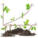 Plant graph Royalty Free Stock Photo