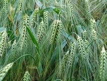 Plant, Grass Family, Vegetation, Food Grain stock image
