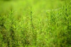 Plant grass moss. Macro plan Stock Photo