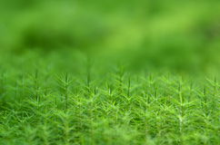 Plant grass moss. Macro plan Royalty Free Stock Images